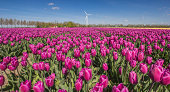 Field of purple tulips and a wind turbine in the Netherlands
