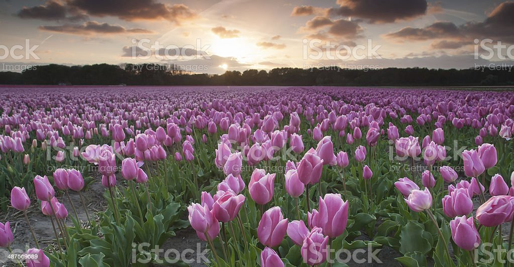 field of purple tulips at sunset stock photo