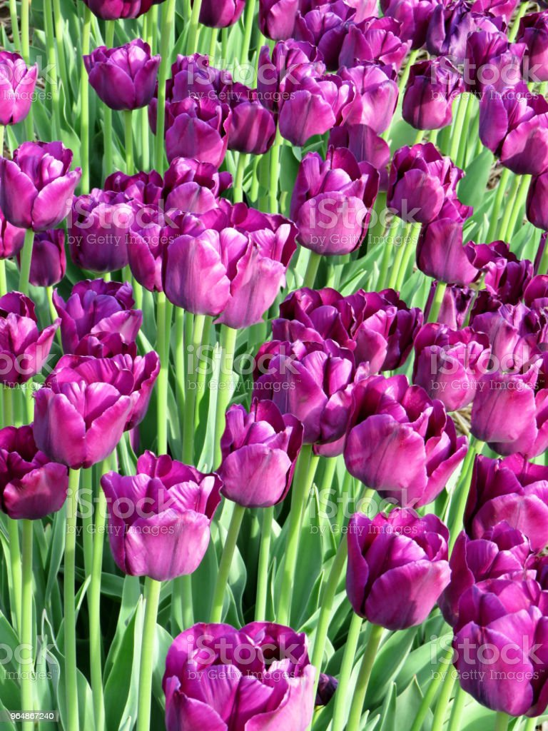 Field of purple tulips blooming in spring royalty-free stock photo