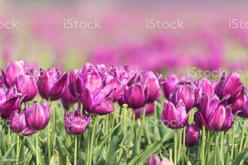 Gebied van paarse tulpen royalty free stockfoto