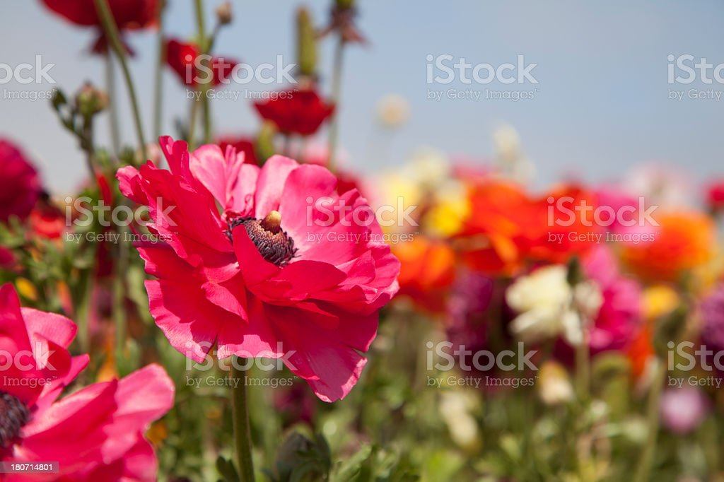 Field of Ranunculus flowers royalty-free stock photo