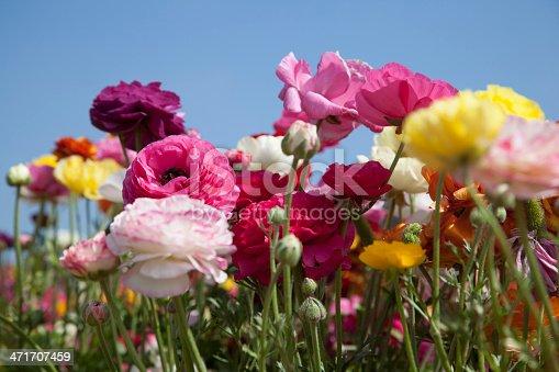 Field of ranunculus flowers