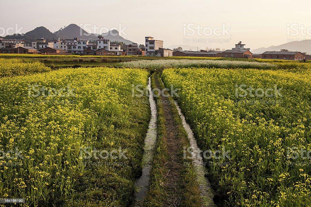 Field of rape flowers,spring pastoral scene ,China royalty-free stock photo