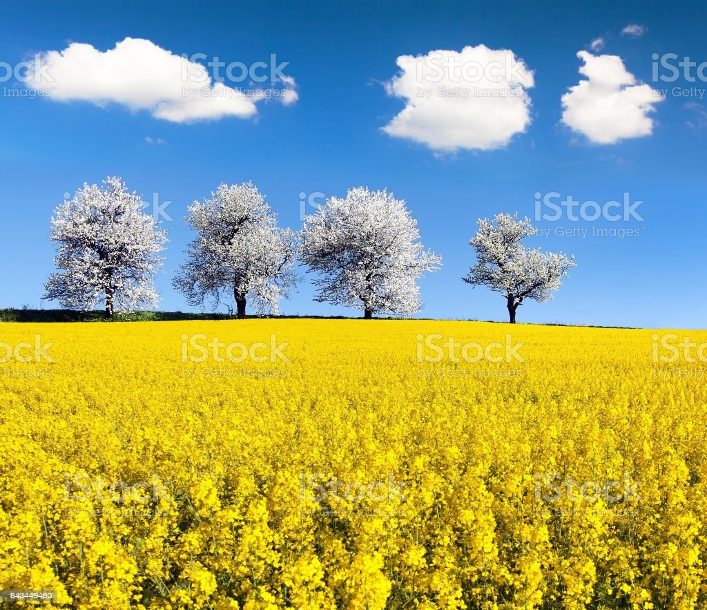 field of rapeseed and alley of cherry tree stock photo