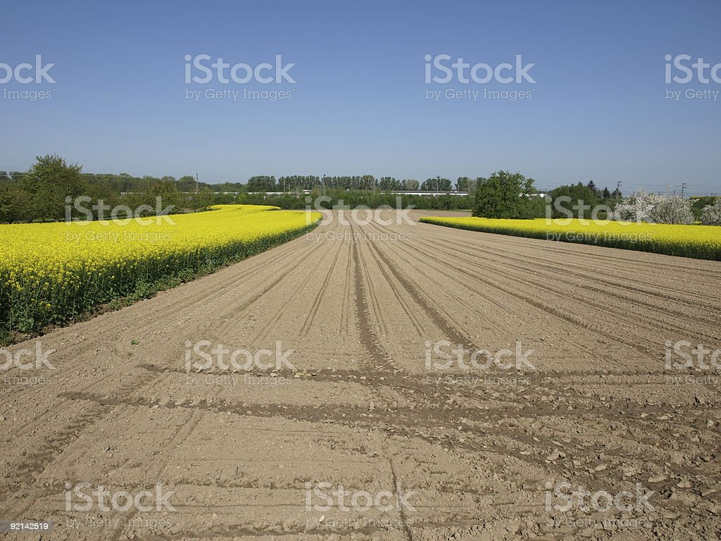 field of rapeseed and maize corn Brassica napus in springtime royalty-free stock photo