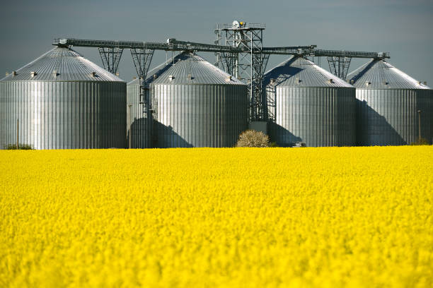 Champ de colza floraison, un grain Silo derrière - Photo