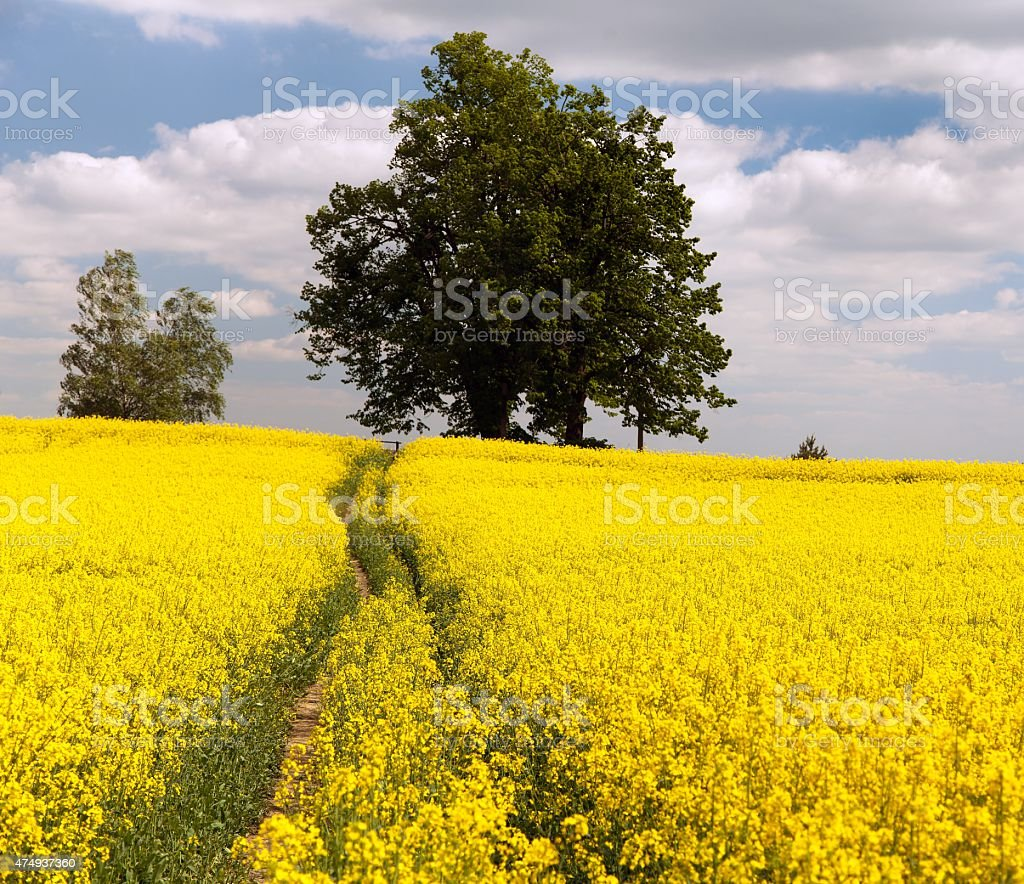 Field of rapeseed - brassica napus stock photo