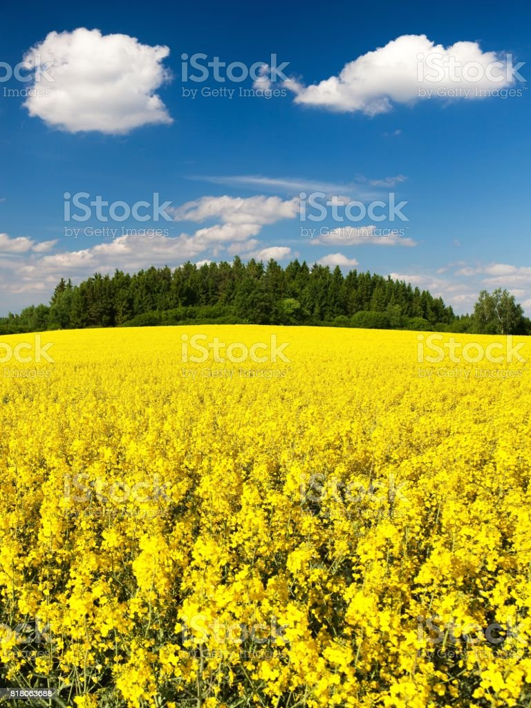 Field of rapeseed, canola or colza stock photo