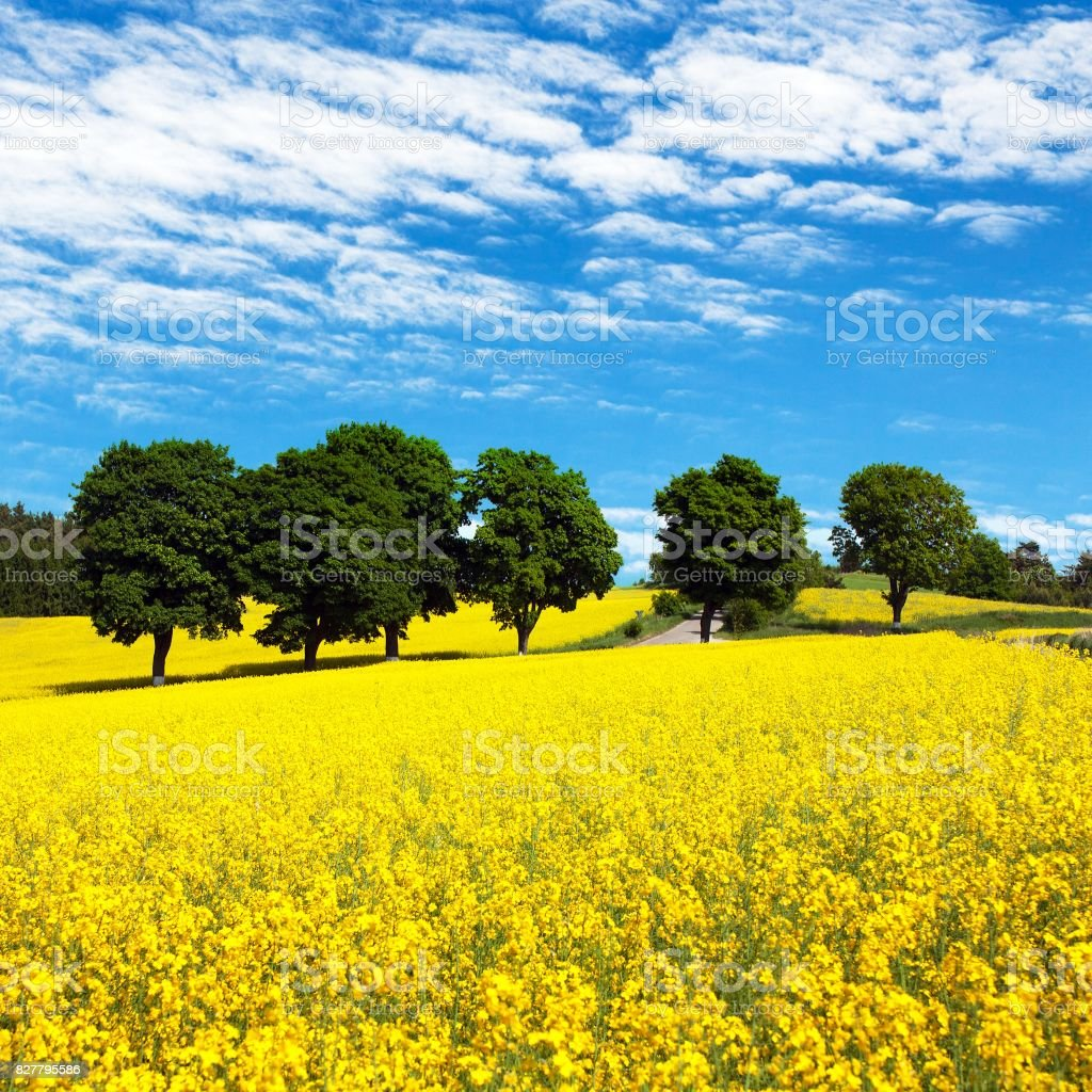 Field of rapeseed, canola or colza with rural road stock photo