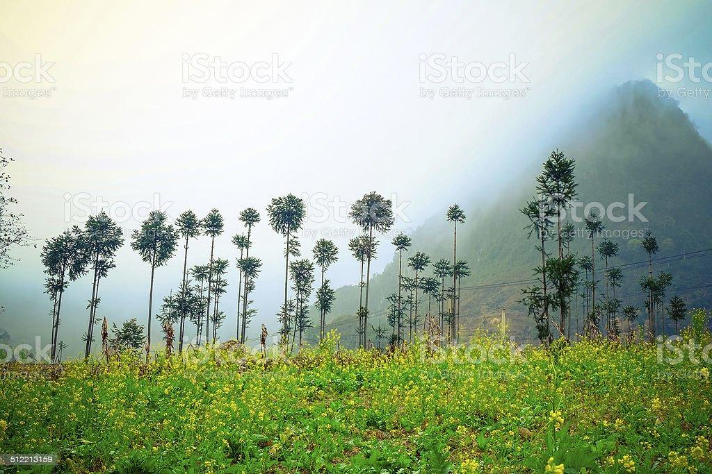 Field of rapeseed flower in Ha Giang, Vietnam. stock photo