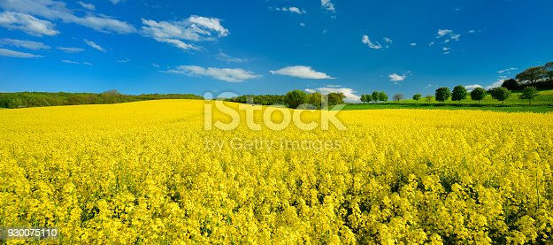 Endless Field of Rapeseed blossoming, a tractor with spray bringing out pesticides, agricultural Landscape under Blue Sky with Clouds