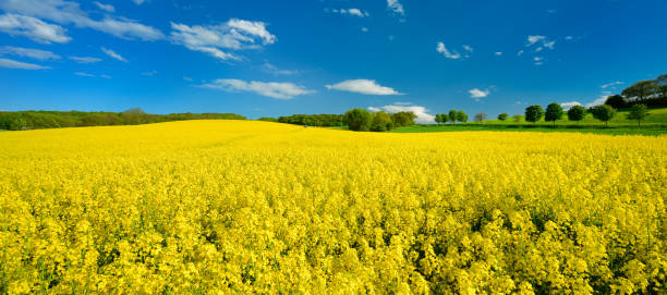 Field of Rapeseed in Full Bloom, distant Tractor with Sprayer stock photo