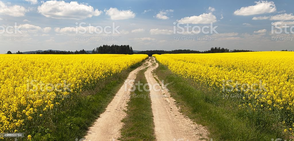 Field of rapeseed (brassica napus) stock photo