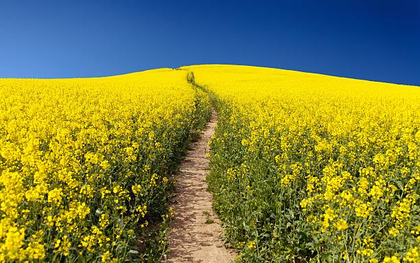 Field of rapeseed (brassica napus) Field of rapeseed (brassica napus) - plant for green energy and green industry brassica rapa stock pictures, royalty-free photos & images