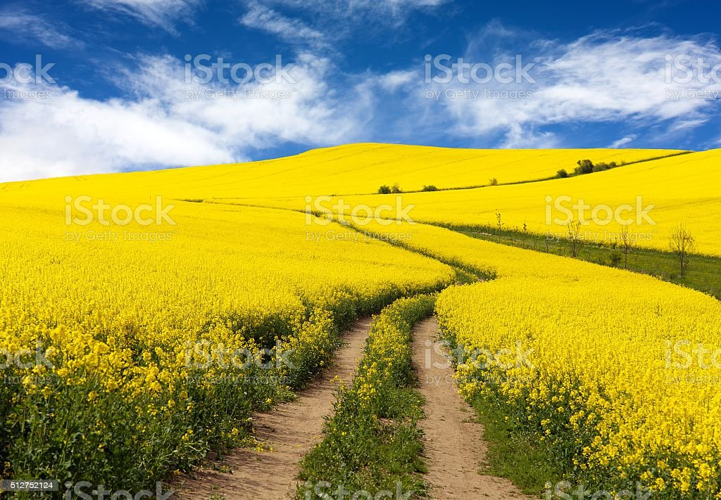 Field of rapeseed with rural road and beautiful cloud stock photo