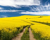 Field of rapeseed with rural road and beautiful cloud (brassica napus) - plant for green energy and green industry