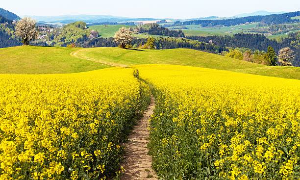field of rapeseed (brassica napus) with rural road field of rapeseed (brassica napus) with rural road - plant for green energy and oil industry brassica rapa stock pictures, royalty-free photos & images