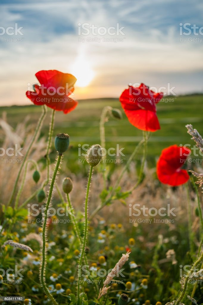 A field of red blooming poppies against the setting sun. stock photo
