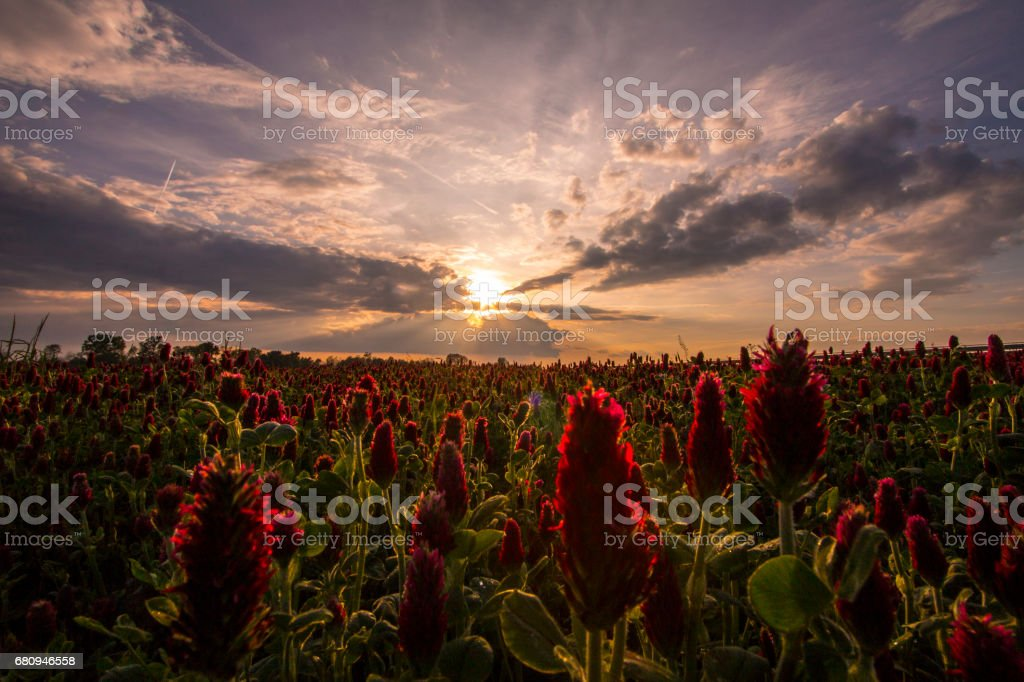 Field of red clover at the sunset royalty-free stock photo