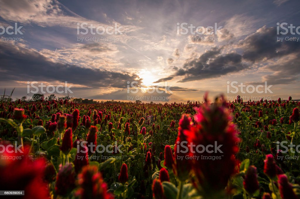 Field of red clover flowers at the sunset stock photo