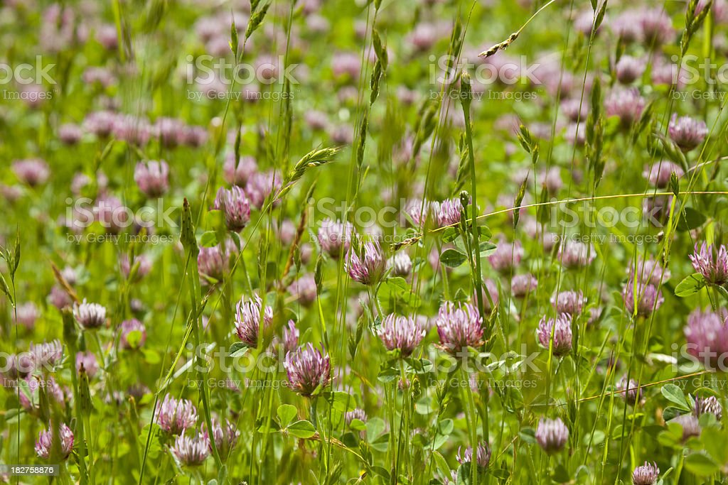 field of red clover royalty-free stock photo