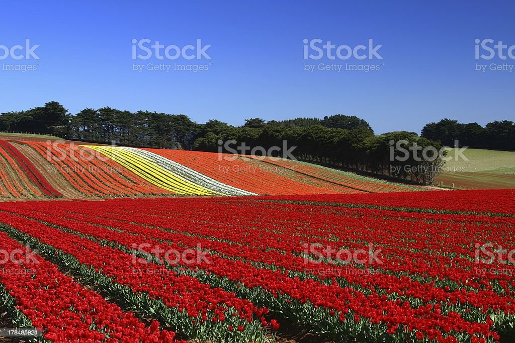 Field of red royalty-free stock photo