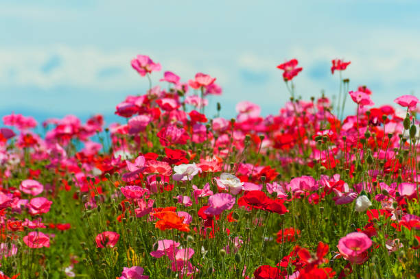 A field of red, pink and white poppies stock photo