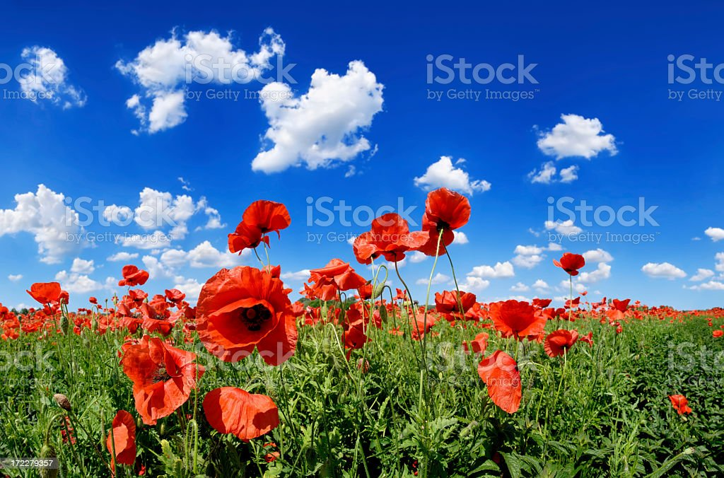 Field of red poppies against beautiful blue sky royalty-free stock photo