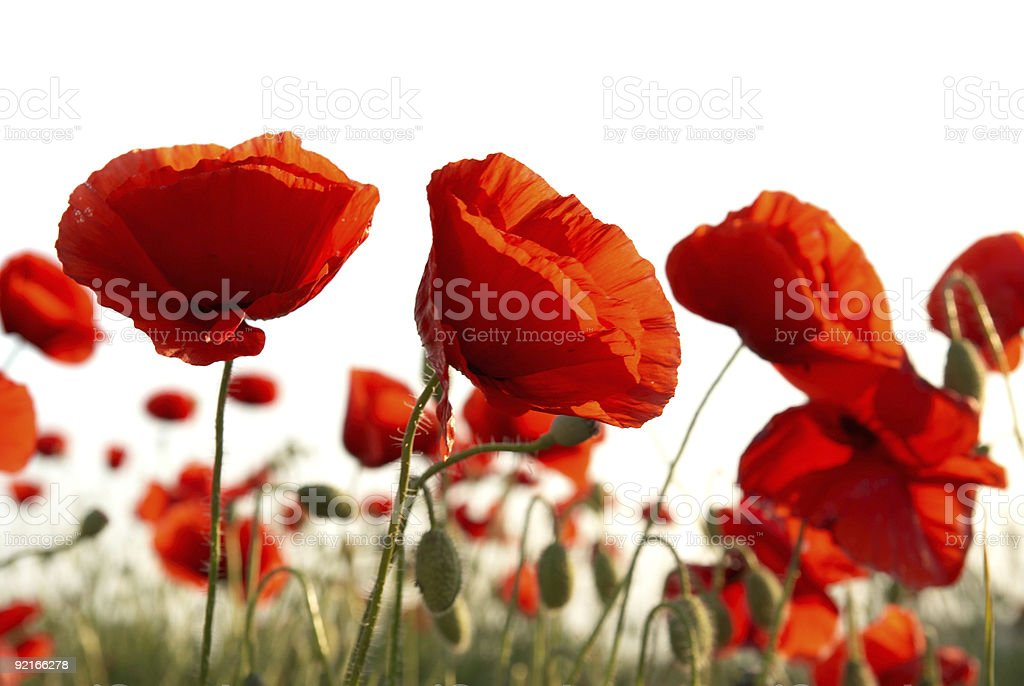 Field of red poppies against cloudy background stock photo