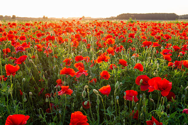 Field of red poppies in summer stock photo