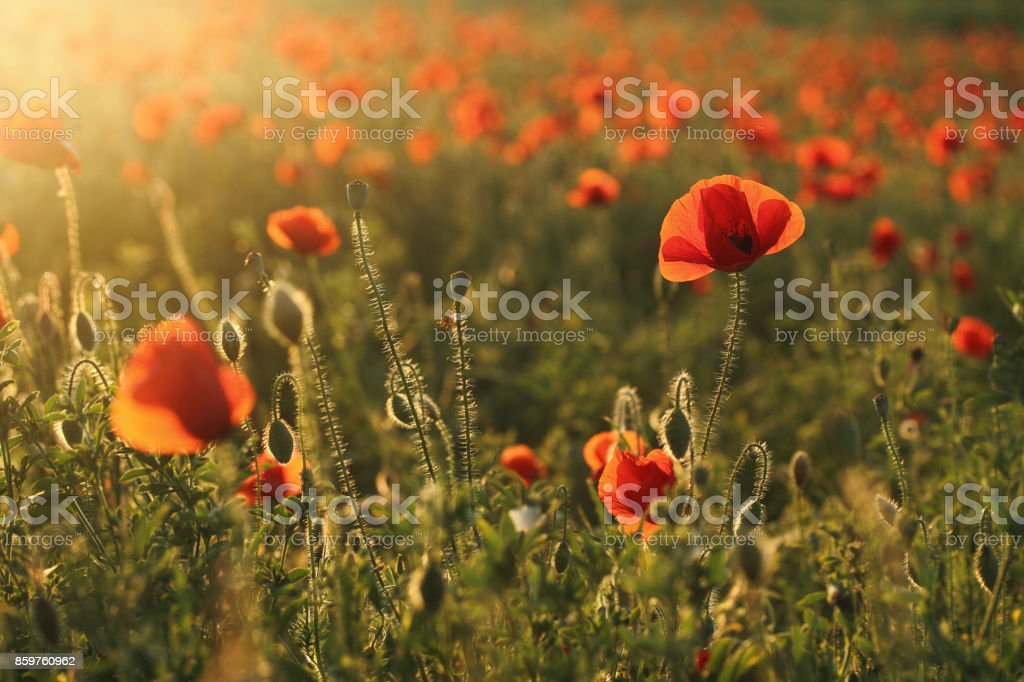 field of red poppies stock photo