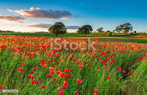istock Field of Red Poppies 997620716