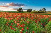A poppy field full of red poppies in summer near Corbridge in Northumberland