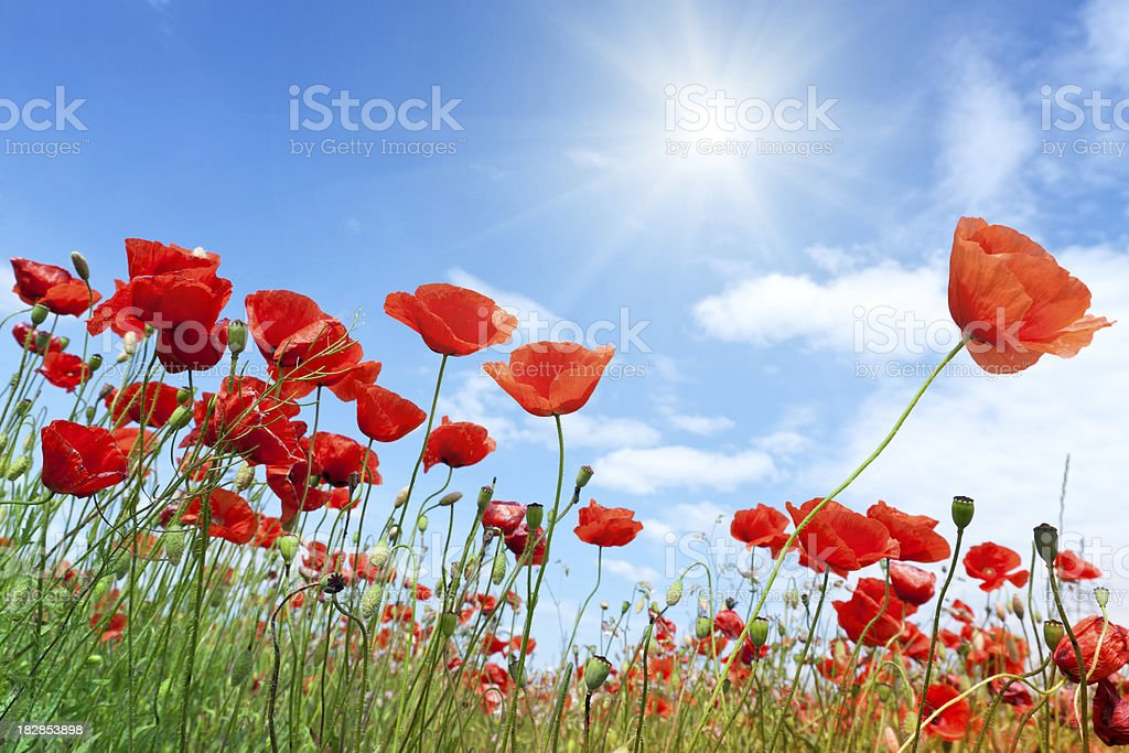 Field of red poppies with a bright sunny sky stock photo