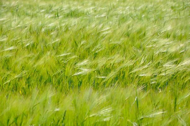 Campo de amapolas rojas con picos verdes - foto de stock