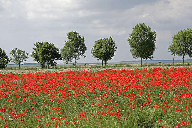 Field of red poppy Field of red poppy (Papaver rhoeas) in Aisne,Picardy region of France aisne stock pictures, royalty-free photos & images