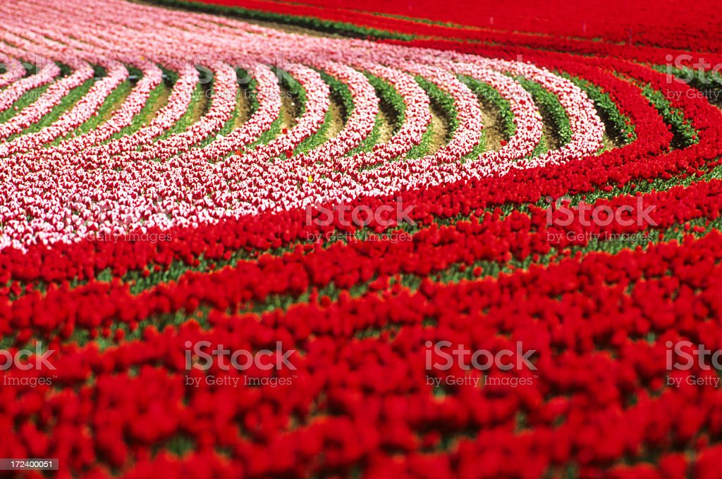 field of red tulip royalty-free stock photo