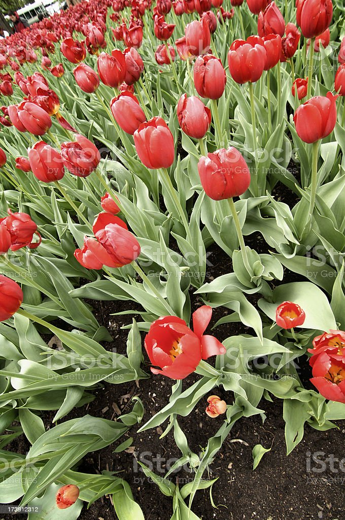Field of Red Tulips royalty-free stock photo