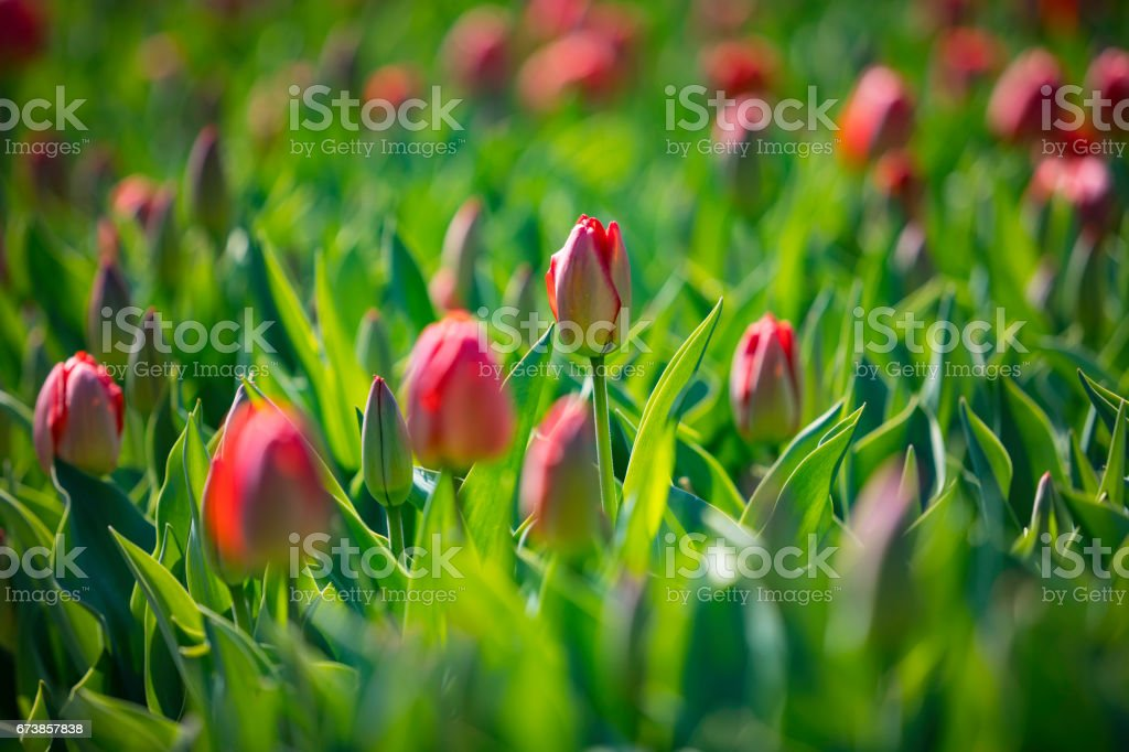 field of red tulips photo libre de droits