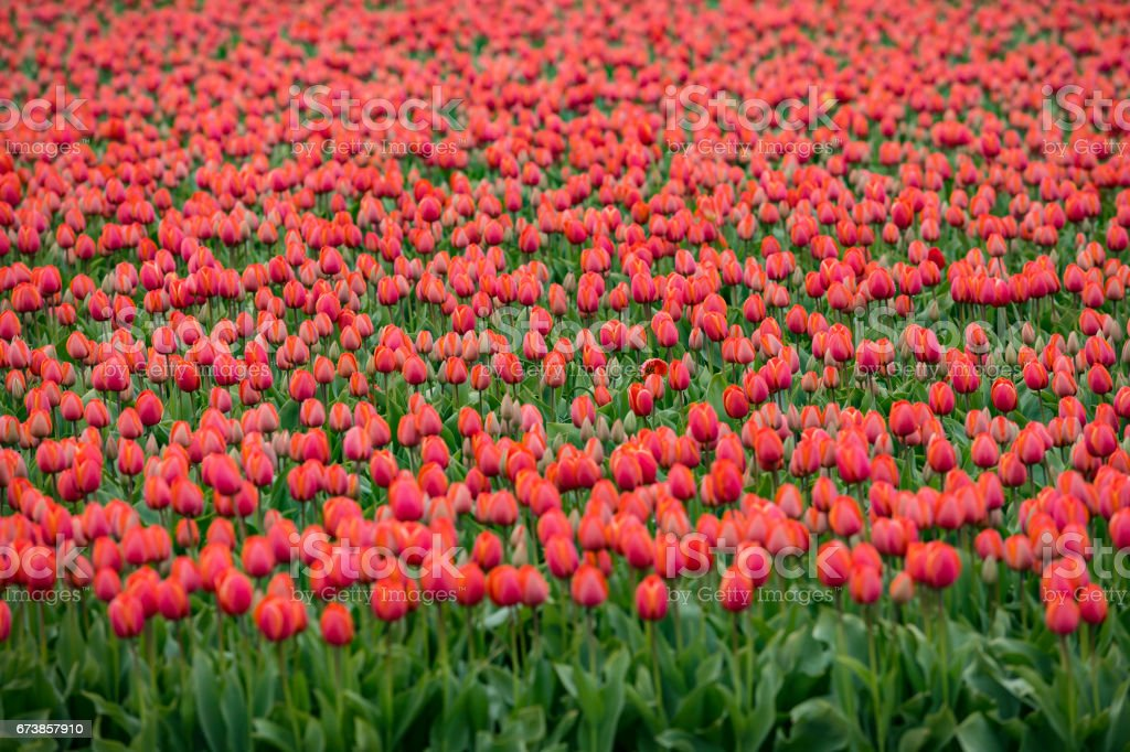 Champ de tulipes de roux photo libre de droits