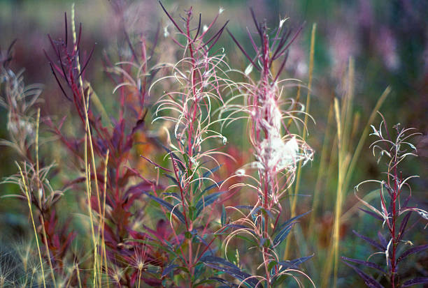 Field of red wildflowers in Alaska maroon and red stems on wild grasses in Alaska hearkencreative stock pictures, royalty-free photos & images