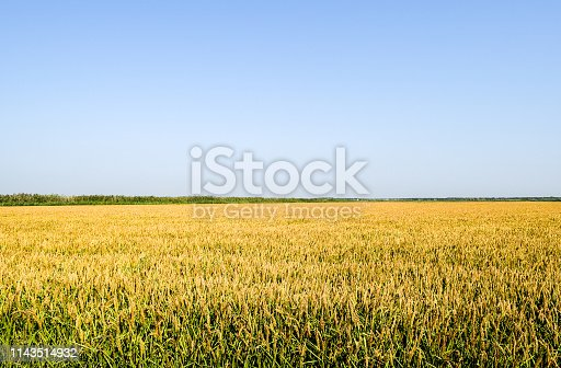 istock Field of rice in the rice paddies 1143514932