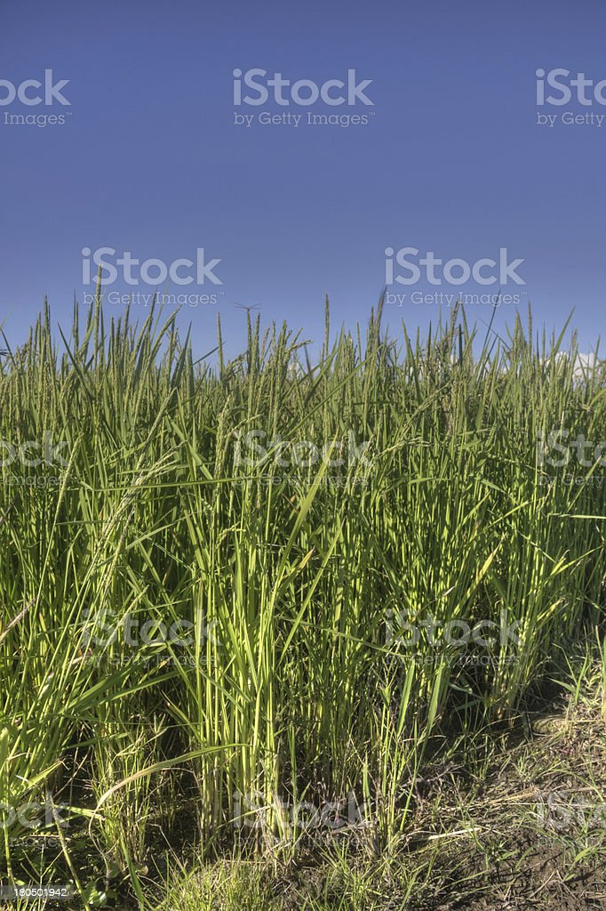 Field of rice royalty-free stock photo