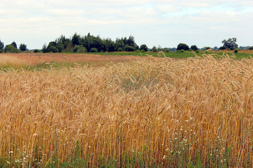 field of ripe and fluttering spikelets of wheat