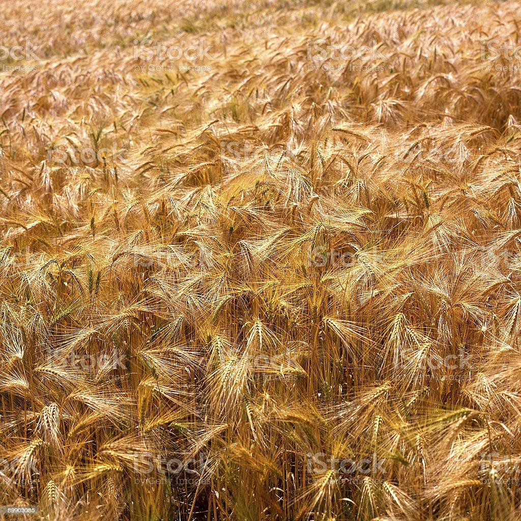 Field of Ripe Barley royalty-free stock photo
