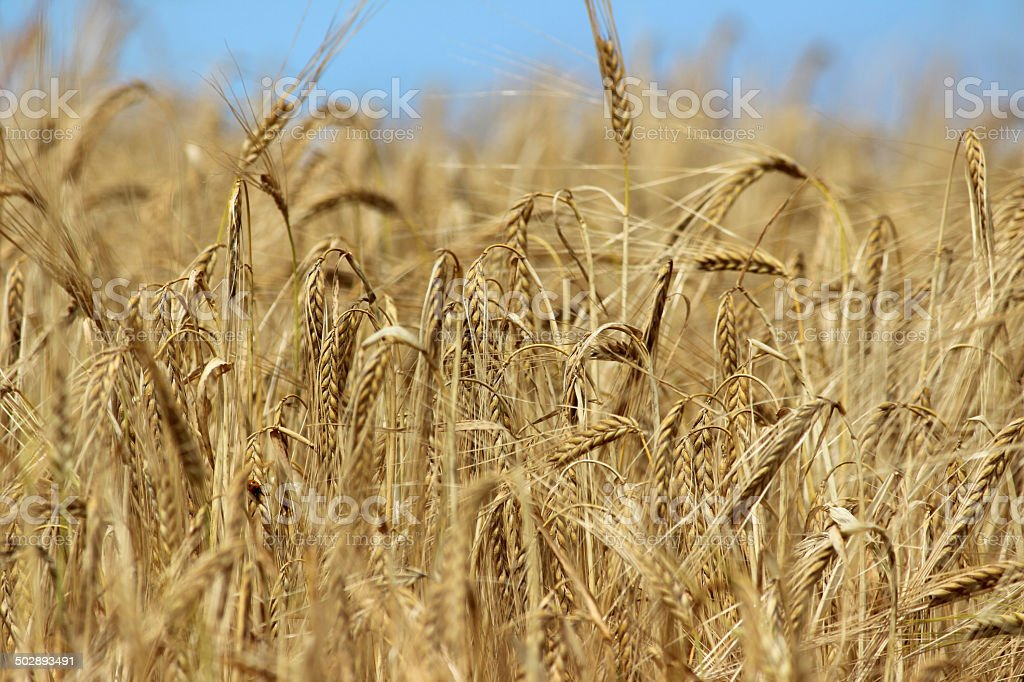 Field of ripe barley seeds / barley seed-heads ready to harvest royalty-free stock photo
