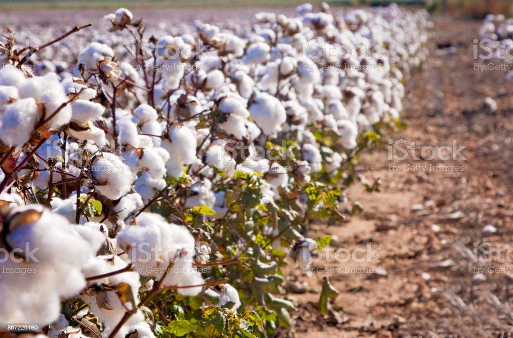 Field of Ripe Cotton Plants stock photo