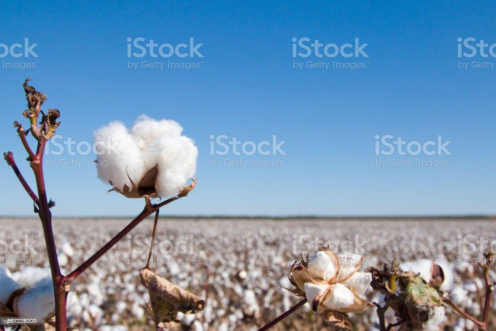 成熟的棉花植物領域 - 免版稅具有特定質地圖庫照片
