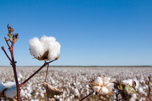 Field of Ripe Cotton Plants Field of Ripe Cotton PlantsField of Ripe Cotton Plants cotton stock pictures, royalty-free photos & images