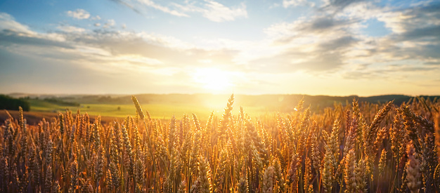 Natural rural summer panoramic landscape. Field of ripe golden wheat in rays of sunlight at sunset against background of sky with clouds.